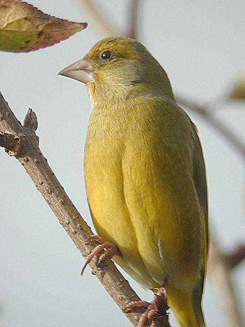 Petite jaune sur la branche Carchl010110_31